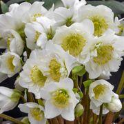 Helleborus Snowbells