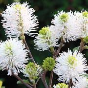 'Mount Airy' Fothergilla image