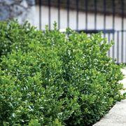 Green Velvet Boxwood Alternate Image 1