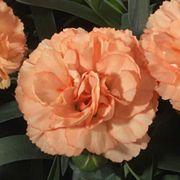 Dianthus Sunflor® Luigi HILLUIGI