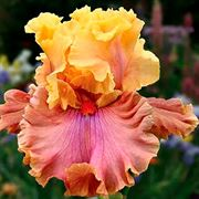 Iris 'Glamazon' image