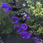 Salvia BODACIOUS® 'Rhythm & Blues' Thumb