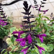 Salvia BODACIOUS® 'Smokey Jazz' Thumb