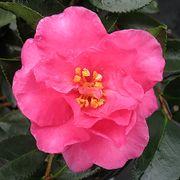 Camellia 'Shi Shi Gashura' image