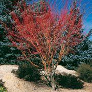 Sango Kaku Acer palmatum Coral Bark Maple Tree image