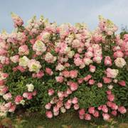 Hydrangea Renba First Editions® Berry White®