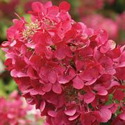 Hydrangea 'Rendia' First Editions® Diamond Rouge® image