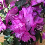 Rhododendron 'PJM Elite' Thumb