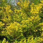 Physocarpus 'Dart's Gold' Alternate Image 1