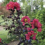 Lagerstroemia Center Stage™ Red image