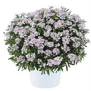Iberis First Flush™ Lavender image