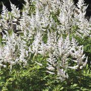 Astilbe 'White Gloria' image