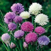 Allium Ornamental One Mix image