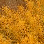 Amsonia 'Butterscotch' Alternate Image 1