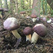 Garden Giant King Stropharia Mushroom image