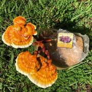 Golden Reishi Mushroom image