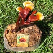 Golden Reishi Mushroom Alternate Image 1