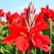 Canna 'Red Dazzler' Thumb