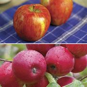 Honeycrisp™ Apple Tree Kit Thumb