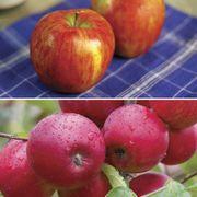 Honeycrisp™ Apple Tree Kit image