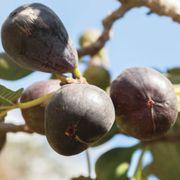 Ficus Neverella Fig Thumb