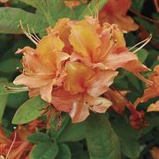 Rhododendron 'Mandarin Lights' Azalea image