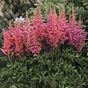 Astilbe 'Rise and Shine' image