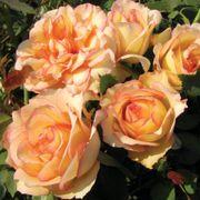 S366-1 Floribunda Rose image