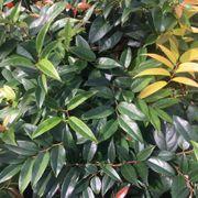 Leucothoe fontanesiana Thumb