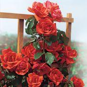 Blaze of Glory Climbing Rose