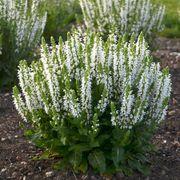 Salvia 'Bumblesnow' image