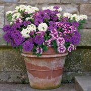 Park's Petites DuraBella® Perfectly Purple™ image