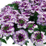 Park's Petites DuraBella® Perfectly Purple™ Alternate Image 1