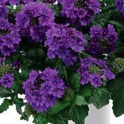 Park's Petites DuraBella® Perfectly Purple™ Alternate Image 2
