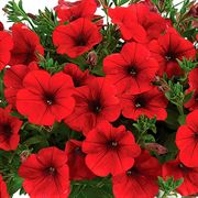 Park's Petites DuraBella® Red White & Blueberry™ Alternate Image 3