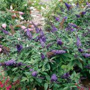 Buddleia Pugster Blue® Alternate Image 1