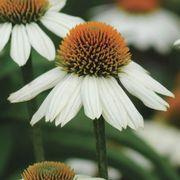 Echinacea 'PowWow White' image