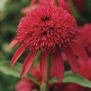 Echinacea Double Scoop™ Cranberry image
