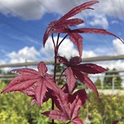 Acer 'Emperor One' image