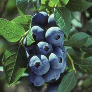 Vaccinium 'Chippewa' Blueberry Thumb