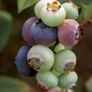 Vaccinium 'Duke' Blueberry image
