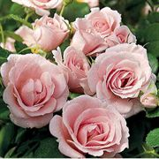 Baby Blanket® Groundcover Rose