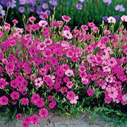 Rose Angel Catchfly Flower Seeds