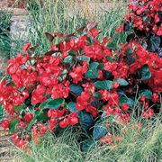 BIG™ Red with Green Leaf Hybrid Begonia Seeds