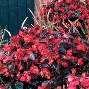 BIG™ Red with Bronze Leaf Hybrid Begonia Seeds