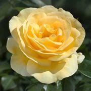 Sunshine Daydream Grandiflora Rose
