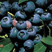 ONeal Blueberry Shrub