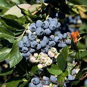 Jewel Blueberry Shrub