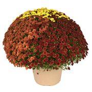 Blooming Block Rhonda™ Color My Fall™ Mum Mix Thumb
