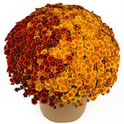 Blooming Block Beverly™ Copper Penny™ Color My Fall™ Mum Mix Thumb